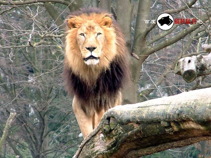 世界上最可爱的狮子